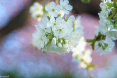 pink and white (Tschissl) Tags: garden austria vintagelens frühling leoben location garten trioplan28100 steiermark österreich