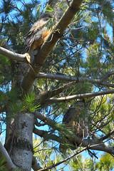 Baby Owlet and Mom (Hanzy2012) Tags: nikon d500 afsnikkor500mmf4difedii toronto ontario canada wildlife bird teleconverter tc14eii greathornedowl bubovirginianus owl