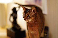 The two graces (DizzieMizzieLizzie) Tags: abyssinian aby lizzie dizziemizzielizzie portrait cat feline gato gatto katt katze kot meow pisica sony neko gatos chat fe ilce 2018 bokeh ilce7m3 a7iii sel85f14gm pose classic dof pet curtain two graces