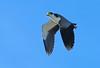 Masked lapwing in flight (Maureen Pierre) Tags: native newzealand bird flight spur wings