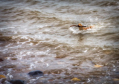 I've Got It Dad! - Whitby, West Bay. (Aranelinya) Tags: whitby dog dogswimming aurorahdr doginsea stick efs1585mm canon600d