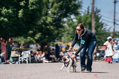 PugCrwal-120 (sweetrevenge12) Tags: portland oregon unitedstates us pug parade crawl brewing sony pugs dog pet