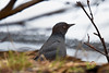 ✌️ I Am Not A Crow! ✌ (Zircon_215) Tags: rustyblackbird euphaguscarolinus wildlife newfoundlandwildlife rapidlydecliningspecies blackbird