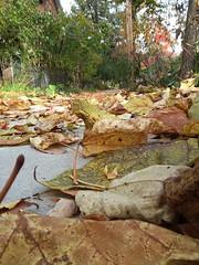 11-11-17 Dayton 19 leaves, fall color (Chicagoan in Ohio) Tags: dayton clouds sun sunhalo leaves fallcolor