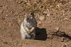Round-tailed ground squirrel at Tohono Chul Park (Distraction Limited) Tags: roundtailedgroundsquirrel xerospermophilustereticaudus groundsquirrels xerospermophilus ardillóncolaredonda tohonochulpark desertcorner botanicalgardens gardens tucson arizona tohonochulpark20180527