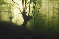 Andmoreagain (Mimadeo) Tags: forest fog spring trees green wet foggy misty mist branch nature landscape morning leaves trunk light mystery mysterious fantasy fairy magic ethereal magical mystical gloomy unreal beautiful dreamy mood moody atmosphere atmospheric dark tree woods foliage wood leaf sunshine sunlight