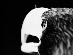Eagle - Adler (W_von_S) Tags: eagle adler greifvogel birdofprey königderlüfte kingoftheskies tier animal natur nature blackwhite sw schwarzweis fokus focus depthoffield schärfentiefe auge eye highcontrast hoherkontrast monochrome monochrom wvons werner sony sonyilce7rm2 outdoor poing wildpark wildlife wildlifepark ebersberg bavaria bayern
