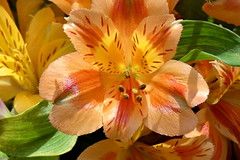 'Lily of the Incas' (Jim Atkins Sr) Tags: macro closeup lilyoftheincas peruvianlilies alstroemeria lilies lily fairfieldharbour northcarolina panasonic fz80