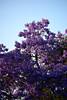 DSC_5879-61 (jjldickinson) Tags: nikond3300 103d3300 nikon55200mmf456gedifafsdxvrnikkor promaster52mmdigitalhdprotectionfilter jacaranda tree flower bloom blossom sunset