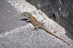 resident of the park :) (green_lover) Tags: lizard reptiles animals tenerife canaryislands spain fauna nature