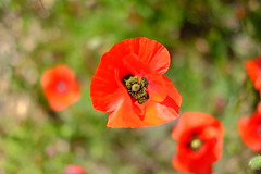 Poppy (sebastienvillain) Tags: xe2 xseries xf35mm provence campagne campaign champ field coquelicot poppy coquelicots poppies red rouge nature fleur fleurs flower flowers