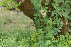 Squaw Creek (Tony Pulokas) Tags: stream mccloudriver forest oldgrowth tree california spring blur tilt bokeh squawcreek oak moss claopodium blackoak californiablackoak manroot wildcucumber poisonoak flower toxicodendron marah