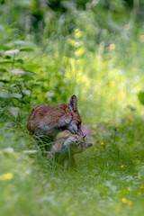 Renards (Vulpes vulpes) Red Fox (Explorer 2018-05-25) (Denis.R) Tags: redfox renard renardeau vulpesvulpes vert tendresse animal libre sauvage free wildlife nature sony alpha7iii a7iii a7m3 france lorraine moselle denisr denisrebadj wwwdenisrebadjcom