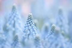A Dream Within A Dream (Anna Kwa) Tags: muscari grapehyacinth blue asparagaceae bokeh flower macro annakwa nikon d750 1050mmf28 my dream always seeing heart soul throughmylens hope fate destiny life journey 半句再見 孫燕姿