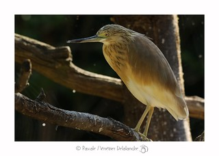 Crabier chevelu - Squacco Heron