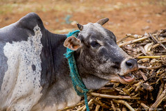 2017.06.21.4329 Karatu Family Cow (Brunswick Forge) Tags: 2017 summer spring tanzania africa safari grouped fall winter favorited