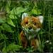 Foxi vergnügt sich auf der Wiese (xockisfriends) Tags: foxi fox fuchs wiese unterholzweg unterholzweg9 unserfoxi university unerschrocken universität privatuniversity spring freundlich freizeit verstecken lebenslust green freunde student quantenmechanik profrauz einser note schdudiera doppelstudium aufmerksam