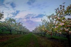 Apple Blossoms in the Orchard (T P Mann Photography) Tags: landscape sky clouds longexposure evening dusk spring blossoms orchard apple michigan atwood breezeway puremichigan