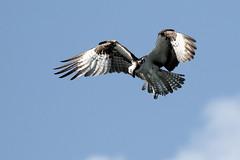 Osprey Inflight Hunting (dbadair) Tags: outdoor seaside shore sea sky water nature wildlife 7dm2 ocean canon florida bird flight bif