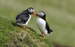 Puffin Greeting   Faroe Islands (dr brewbottle) Tags: puffin faroeislands