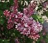 Lilacs, Royal Botanical Garden, Hamilton, ON (Snuffy) Tags: lilac flowers spring seasons arboretum royalbotanicalgardens hamilton ontario canada autofocus