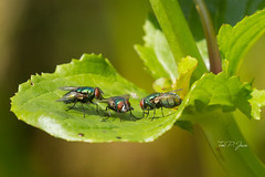 3 flies (Toni P. Juan) Tags: nature makro macro insects fly flies green spring explore on flying scenery may 26052018