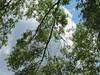 Tree Branches And Sky. (dccradio) Tags: hamer southcarolina sc dillon dilloncounty outdoors outside tree trees greenery foliage southoftheborder touristattraction branch treebranch treebranches branches sky bluesky whiteclouds cloud clouds treelimb treelimbs sticks canon powershot elph 520hs