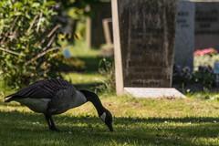 Canada Goose (michael_hamburg69) Tags: gans goose geese gänse vogel bird brantacanadensis kanadagans canadagoose ohlsdorferfriedhof ohlsdorf hamburg germany deutschland