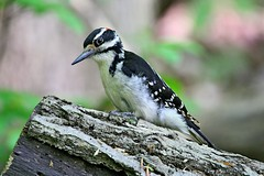Hairy Woodpecker (kevinwg) Tags: woodpecker nature tree hairywoodpecker