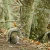 DSC09640-2.jpg (joe.spandrusyszyn) Tags: sciuruscarolinensis treesquirrel circlebbarreserve vertebrate nature polkcounty sciurus lakeland sciuridae unitedstatesofamerica easterngraysquirrel rodent byjoespandrusyszyn florida animal squirrel mammal rodentia
