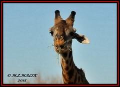 MASAI GIRAFFE (Giraffa camelopardalis tippelskirchii)....MASAI MARA.....OCT 2015 (M Z Malik) Tags: nikon d3x 200400mm14afs kenya africa safari masaimara maraserena exoticafricanwildlife masaigiraffe ngc