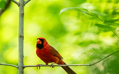 Black and Red (Eeyore Photography) Tags: robertjacksonphotography texas cardinal closeup photography color nikkor200500mmf56 bird nikkor nikond750 eeyorephotography robertjackson