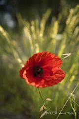 Coquelicot_DSC0254 (hervv30140) Tags: nature paysage fleur herbe lumière rouge vert jaune un unique seul solitaire