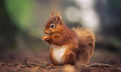 Just a Squirrel (ianbrodie1) Tags: animal small red squirrel nature cute nikon woods pow hill