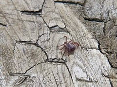 Wood on wood.. (deanspic) Tags: tick woodtick lymedisease medical g1x macro wood bench medicalmatters explore