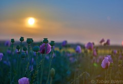 Mohn im Mondschein (Poppy in the moonlight) (tobias.boehm94) Tags: moonlight moonporn cloud evening paintedsky lovenature getoutside mutternatur mothernature outside natur nature lovethenature awakethesoul awake flowers colorful color romantic summer hot light night nacht sonya6000 alpha sony himmel sky burningsky burning poppy flower purplepoppy lila mohnfeld feld sommer mondschein moon mond landscape landschaft alpha6000 sonyalpha6000 smile saturday smileonsaturday preciouspurple