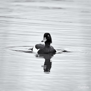 TUFTED DUCK 15