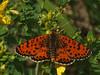 Melitaea didyma - Red-band fritillary - Шашечница красная (Cossus) Tags: 2014 nymphalidae nymphalinae нерская шашечница melitaea fritillary