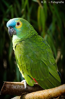 Papagei / Parrot