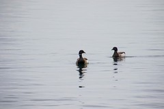 7K8A9285 (rpealit) Tags: scenery wildlife nature barnegat lighthouse state park brant geese bird goose