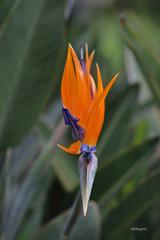 Frente a frente (Gloria Ayala Barrera) Tags: strelitzia avedelparaíso flora macro sudáfrica closeup