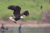 Bald Eagle hunting in rains - IMG_6175-2 (arvind agrawal) Tags: baldeagle eagle rainbowtrout trout rains lake edlevincountypark edrlevin canon1dx canon600mmf4ii canon arvindagrawal swallow cormorant