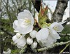 Quand reviendra-t-il  le temps des cerises  ????? (Figareine- Michelle) Tags: cerisier fantastic nature coth alittlebeauty through the lens coth5 naturethroughthelens
