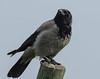 Antagonista Della Poiana - Cornacchia (G.Sartori.510) Tags: pentaxk1 hdpentaxdfa150450mmf4556eddcaw cornacchia crow