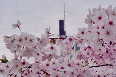 DSC05869-4 (malte_bau) Tags: kirschblüte frankfurt am main sony a6300 mainufer frühling