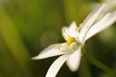 DSC_0182 (Michi (Friuli)) Tags: michi berini nikon d700 af60 f28 micro g ed aprile 2018 primavera bianco fiore macro