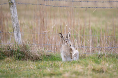 Big Foot Leucistic Hare (www.andystuthridgenatureimages.co.uk) Tags: hare brown leucistic white variety variation sitting scratching foot feet suffolk