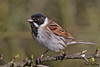 REED  BUNTING // EMBERIZA  SCHOENICLUS  (15cm) (tom webzell) Tags: naturethroughthelens