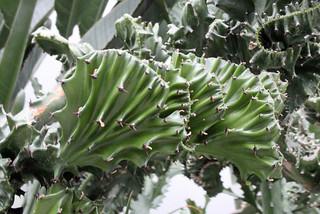 Euphorbia lactea Haw. forma cristata - Palmengarten der Stadt Frankfurt am Main