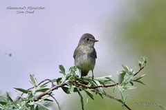 Hammond's Flycatcher (Edhorton) Tags: corn creek las vegas nevada wildlife hammonds flycatcher